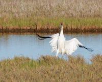 Whooping Crane Landing royalty-vrije stock foto