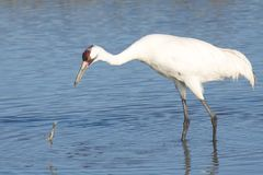 Whooping Crane Lost Crab Royalty Free Stock Photography