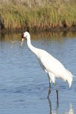 Whooping Crane Lost Crab Stock Photo