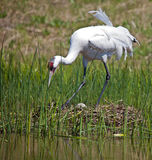 Whooping crane on nest Royalty Free Stock Image
