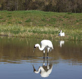 Whooping Crane Pair In Springtime Stock Photo