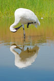 Whooping Crane Preening in Moeras stock fotografie