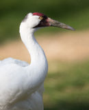 Whooping crane profile Royalty Free Stock Image