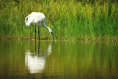 Whooping Crane Reflection Stock Images