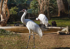 Whooping Crane Washington DC Zoo Royalty Free Stock Photography