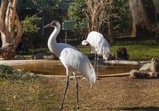 Whooping Crane Washington DC Zoo Royalty Free Stock Photography