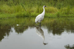 Whooping Crane Wader royalty free stock photos