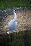 Whooping Crane Wading - Homosassa Springs Royalty Free Stock Images