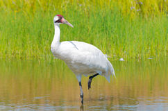 Whooping Crane Wading in Moeras royalty-vrije stock foto