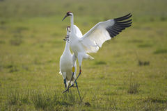 Whooping Cranes doing the mating dance stock images