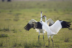 Whooping Cranes doing the mating dance stock photo