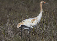 Whooping Cranes Royalty Free Stock Photos