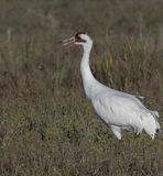 Whooping Cranes Royalty Free Stock Photo