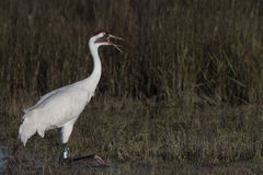 Whooping Cranes Stock Photos