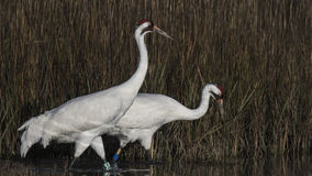 Whooping Cranes Royalty Free Stock Image
