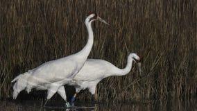 Whooping Cranes. Grazing at Aransas Wildlife Refuge near Rockport, Texas, USA royalty free stock image