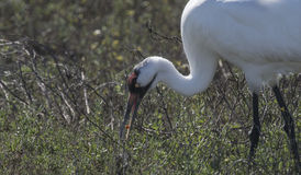 Whooping Cranes Stock Photo