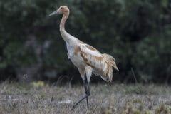 Whooping Cranes. Grazing at Aransas Wildlife Refuge near Rockport, Texas, USAnCarol_Gray stock photos