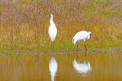 Whooping Cranes in a Wetland Pond. In Wisconsin Stock Images