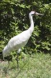 Whooping Kran-bedrohte Art-Wasservogel-Vogel Lizenzfreies Stockfoto