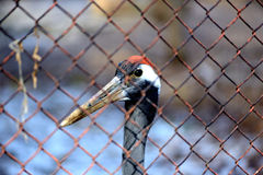 Whoopingskraan in de dierentuin van Alma Ata Stock Afbeelding