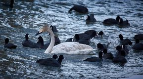 Free Whopper Swan And Eurasian Coots Stock Images - 85252224