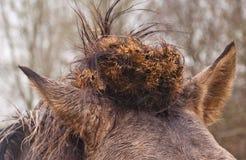 Whorl do cabelo de um cavalo de Konik Fotografia de Stock Royalty Free