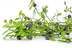 Whortleberry Stock Photo