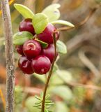 Whortleberry. Berries of whortleberry on the bog Royalty Free Stock Images