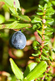 Whortleberry ripening in a wood Stock Photos