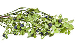 Whortleberry. Small bush of whortleberry with berries on a white background Stock Photography