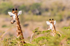 Giraffes Two Alert Wildlife Stock Images