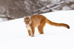 Whos hungry. Mountain lion with tongue out Stock Photo