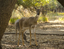 Whos there?. A mother American Whitetail deer with her twin fowls grazing in the sunlight with live oak trees in the background Stock Photo