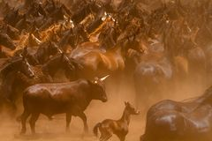 Whos your daddy. Wild horses running in the dust with a lone bull Stock Images