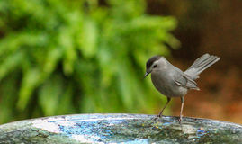 Whose the fairest-Catbird Royalty Free Stock Images
