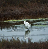 Whte Egret Hunting Royalty Free Stock Images
