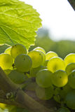 Whte grapes Royalty Free Stock Image