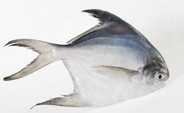 Whte Pomfret. Single White or Silver Pomfret fish Royalty Free Stock Images