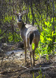 Whtetail Deer Looks Back Royalty Free Stock Image