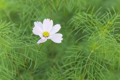 Whtie blomma Arkivfoton