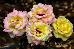Whtie y rosas amarillas en un jardín Fotos de archivo libres de regalías