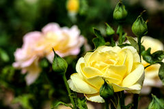 Whtie and yellow roses in a garden Stock Photography