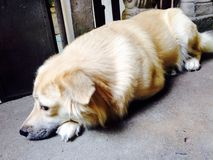 Why so cute doggie Fudge?? Stock Photos