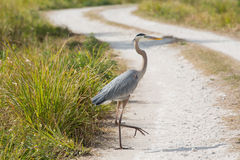 Why'd the Heron Cross the Road Royalty Free Stock Photos