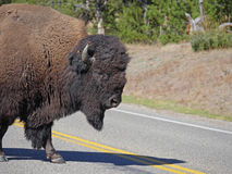 Why did the Bison Cross the Road Royalty Free Stock Images