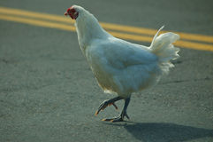Why did the chicken cross the road?. A chicken doing what people have been wondering about for centuries Stock Photo