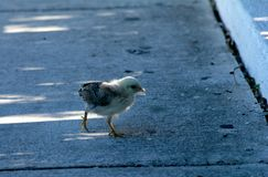 Why did the chicken cross the road. ? Key West, Florida royalty free stock image