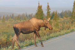 Why Did the Moose Cross the Road? Stock Images