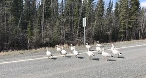 Why Did Snow Geese Cross The Road. royalty free stock photos